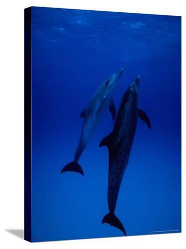 Atlantic Spotted Dolphins, Pair Swimming, Bahamas-Gerard Soury-Stretched Canvas Print