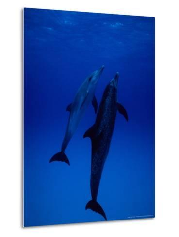 Atlantic Spotted Dolphins, Pair Swimming, Bahamas-Gerard Soury-Metal Print
