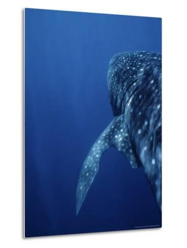 Whale Shark, Swimming, W. Australia-Gerard Soury-Metal Print