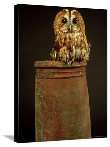 Tawny Owl, UK-Les Stocker-Stretched Canvas Print