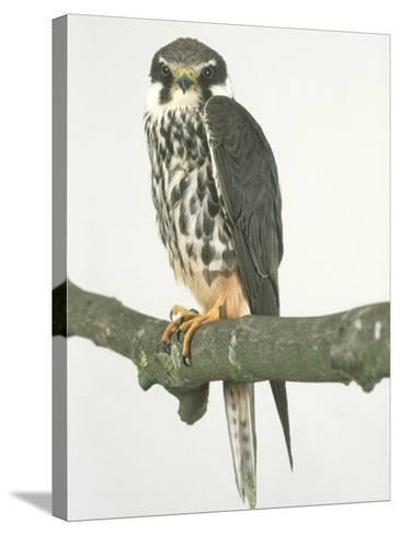 Hobby, Aylesbury, UK-Les Stocker-Stretched Canvas Print