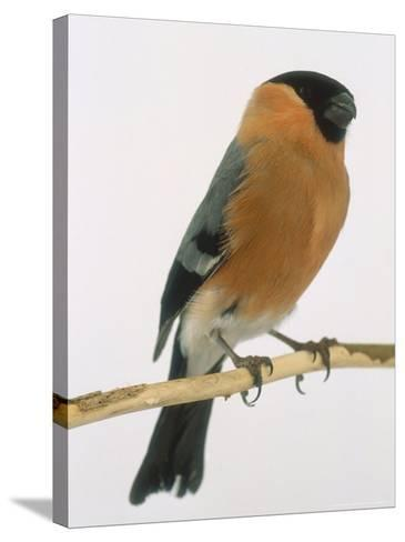 Bullfinch, UK-Les Stocker-Stretched Canvas Print
