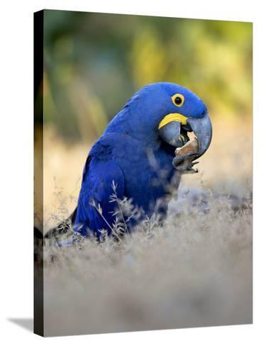 Hyacinth Macaw, Parrot Eating Brazil Nuts, Brazil-Roy Toft-Stretched Canvas Print