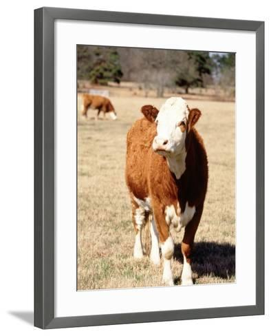 Simmental Beef Cattle-Ray Hendley-Framed Art Print
