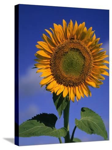 Sunflower-Eric Horan-Stretched Canvas Print