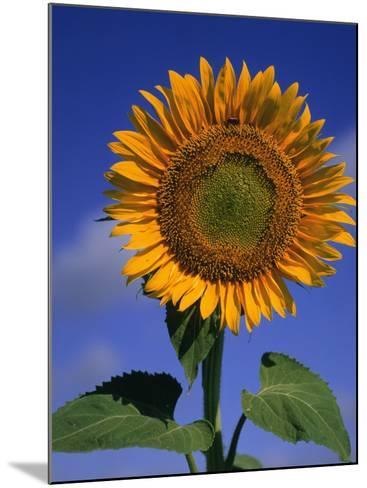 Sunflower-Eric Horan-Mounted Photographic Print