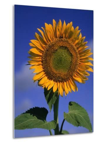 Sunflower-Eric Horan-Metal Print