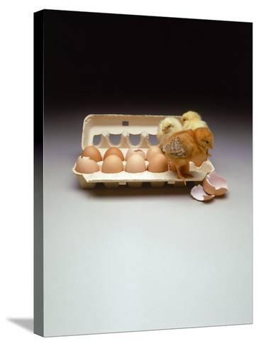 Chicks in a Carton of Eggs-Bob Kramer-Stretched Canvas Print