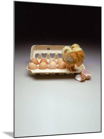 Chicks in a Carton of Eggs-Bob Kramer-Mounted Photographic Print