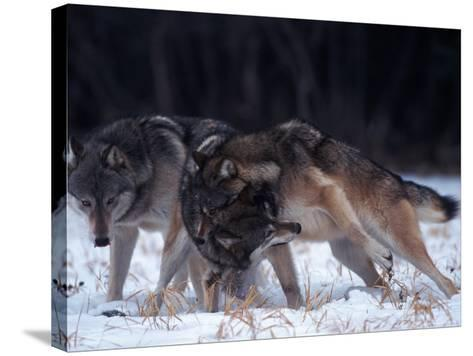 Gray Wolves in Dominance Struggle, Canis Lupus, MN-D^ Robert Franz-Stretched Canvas Print