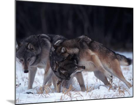 Gray Wolves in Dominance Struggle, Canis Lupus, MN-D^ Robert Franz-Mounted Photographic Print