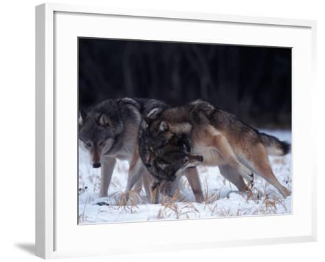 Gray Wolves in Dominance Struggle, Canis Lupus, MN-D^ Robert Franz-Framed Art Print