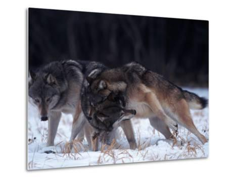 Gray Wolves in Dominance Struggle, Canis Lupus, MN-D^ Robert Franz-Metal Print