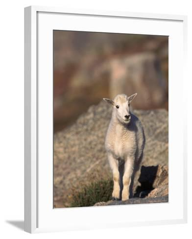 Baby Mountain Goat, Oreamos Americanus, CO-D^ Robert Franz-Framed Art Print