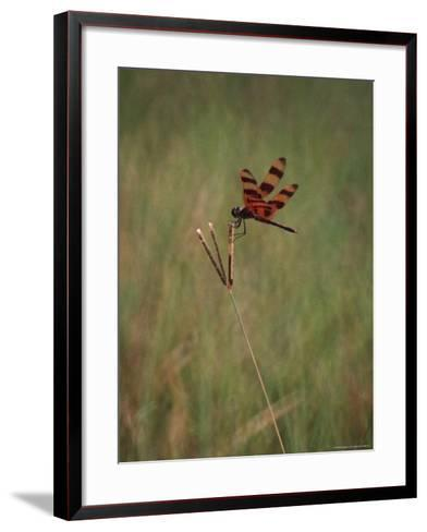 Close-up of Dragonfly on Blade of Grass, FL-Pat Canova-Framed Art Print