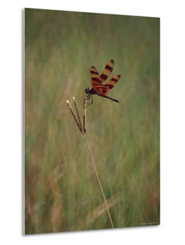 Close-up of Dragonfly on Blade of Grass, FL-Pat Canova-Metal Print