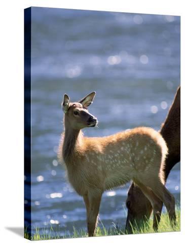 Elk, Cervus Elaphus, Yellowstone National Park, WY-Kyle Krause-Stretched Canvas Print