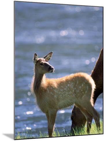 Elk, Cervus Elaphus, Yellowstone National Park, WY-Kyle Krause-Mounted Photographic Print