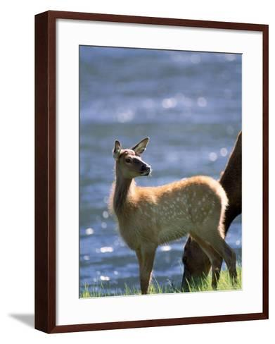 Elk, Cervus Elaphus, Yellowstone National Park, WY-Kyle Krause-Framed Art Print