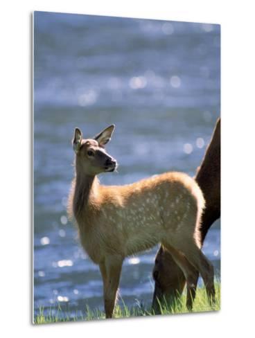 Elk, Cervus Elaphus, Yellowstone National Park, WY-Kyle Krause-Metal Print