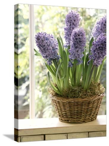 Hyacinthus (Hyacinth) in Basket on Windowsill-Lynne Brotchie-Stretched Canvas Print