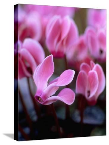 Mini Cyclamen, Close-up of Pink Flowers, November-James Guilliam-Stretched Canvas Print