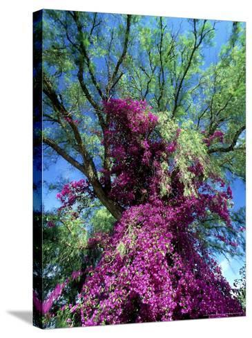 Bougainvillea, Kenya, Africa-David Cayless-Stretched Canvas Print