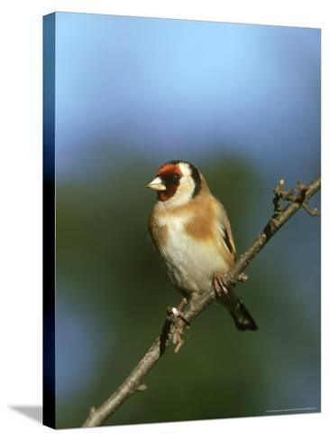 Goldfinch, Carduelis Carduelis Perched on Small Branch UK-Mark Hamblin-Stretched Canvas Print
