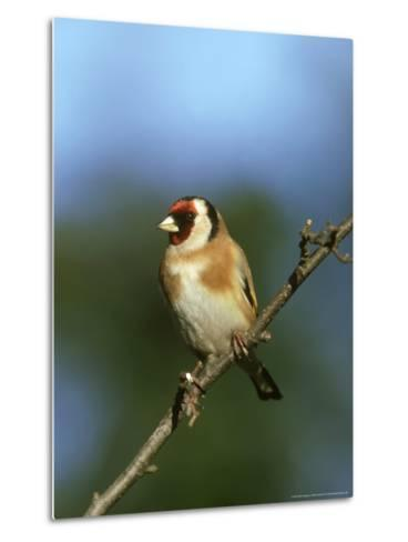 Goldfinch, Carduelis Carduelis Perched on Small Branch UK-Mark Hamblin-Metal Print