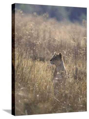 African Lion, Young Male, Southern Africa-Mark Hamblin-Stretched Canvas Print