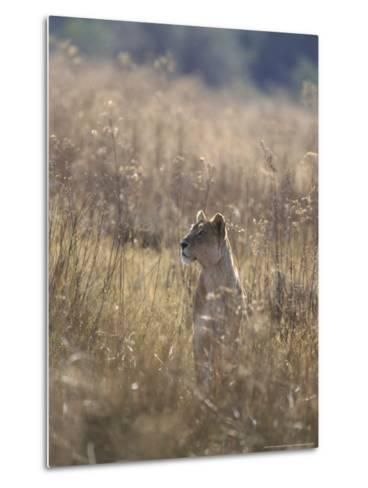 African Lion, Young Male, Southern Africa-Mark Hamblin-Metal Print