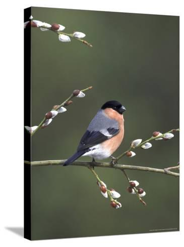 Bullfinch, Male Perched on Pussy Willow, UK-Mark Hamblin-Stretched Canvas Print