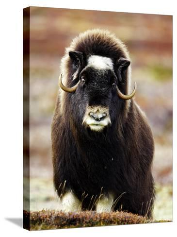 Musk Ox, Portrait of Adult Female on Tundra, Norway-Mark Hamblin-Stretched Canvas Print