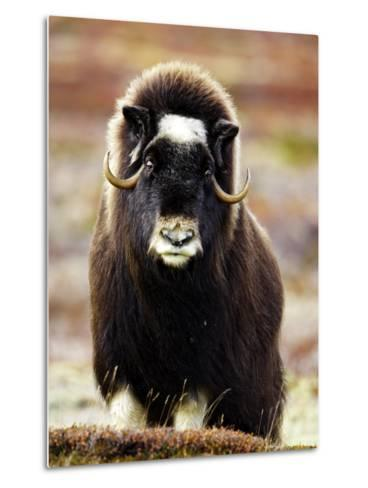 Musk Ox, Portrait of Adult Female on Tundra, Norway-Mark Hamblin-Metal Print
