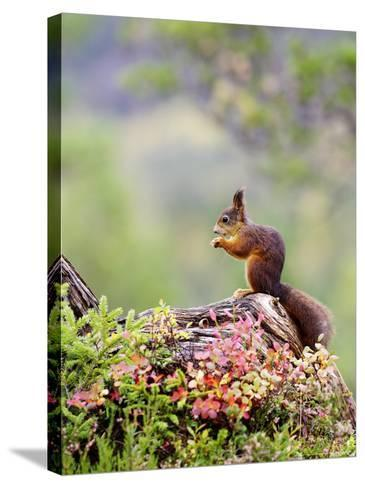 Red Squirrel, Adult Feeding on Hazelnut on Fallen Log in Forest in Autumn, Norway-Mark Hamblin-Stretched Canvas Print