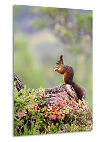 Red Squirrel, Adult Feeding on Hazelnut on Fallen Log in Forest in Autumn, Norway-Mark Hamblin-Metal Print