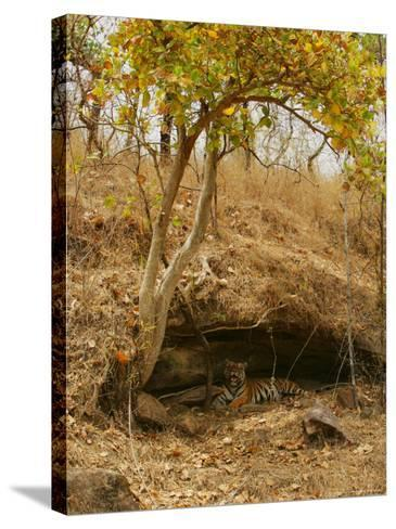 Bengal Tiger, Female in Cave, Madhya Pradesh, India-Elliot Neep-Stretched Canvas Print