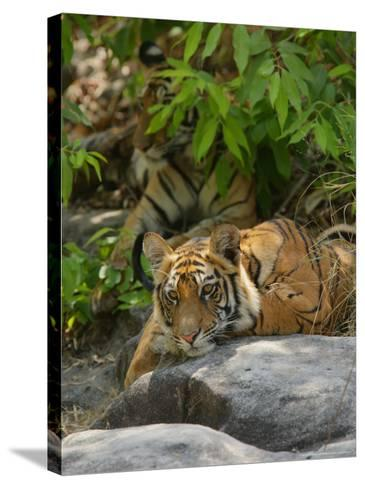 Bengal Tiger, 11 Month Old Cub on Rocks, Madhya Pradesh, India-Elliot Neep-Stretched Canvas Print