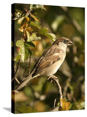 House Sparrow, Male Perching, Middlesex-Elliot Neep-Stretched Canvas Print
