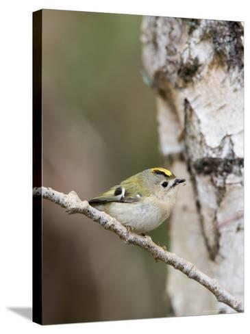 Goldcrest, Perched on Birch Branch with Fly in Bill, Lancashire, UK-Elliot Neep-Stretched Canvas Print
