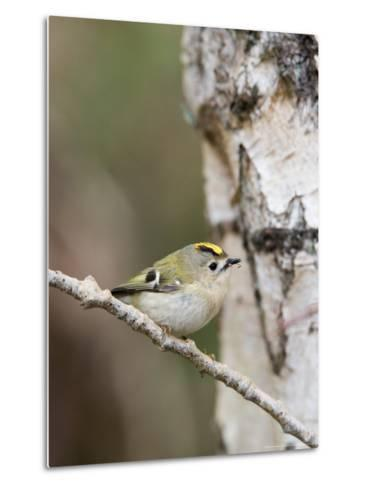 Goldcrest, Perched on Birch Branch with Fly in Bill, Lancashire, UK-Elliot Neep-Metal Print