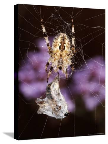 Garden Spider on Web with Prey, Middlesex, UK-O'toole Peter-Stretched Canvas Print