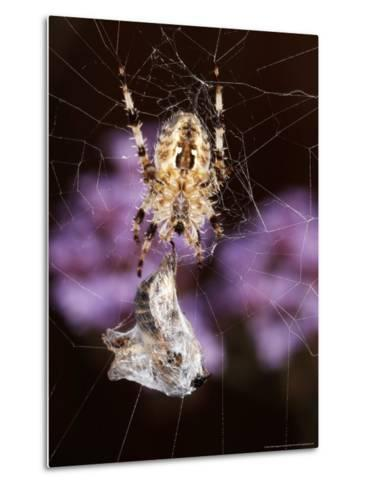 Garden Spider on Web with Prey, Middlesex, UK-O'toole Peter-Metal Print