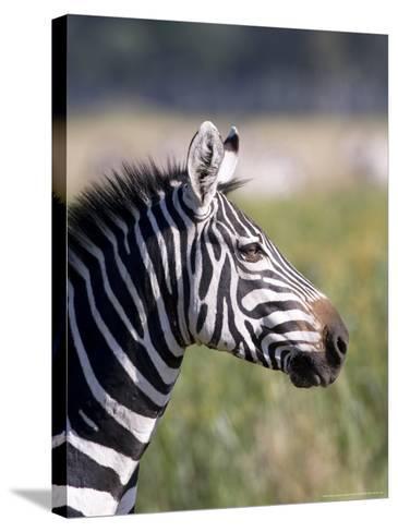 Burchells Zebra, Stallion Head Profile, Kenya-Mike Powles-Stretched Canvas Print