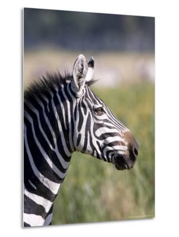 Burchells Zebra, Stallion Head Profile, Kenya-Mike Powles-Metal Print
