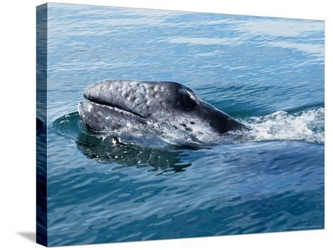 Grey Whale, Porpoising, Mexico-Gerard Soury-Stretched Canvas Print