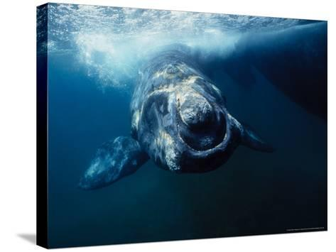 Southern Right Whale, Under Surface, Peninsula Valdes-Gerard Soury-Stretched Canvas Print