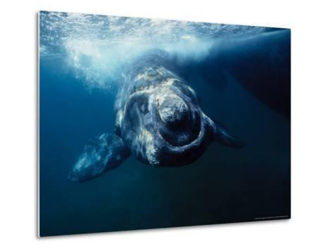 Southern Right Whale, Under Surface, Peninsula Valdes-Gerard Soury-Metal Print