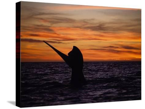 Southern Right Whale, Female at Sunset, Valdes Penin-Gerard Soury-Stretched Canvas Print