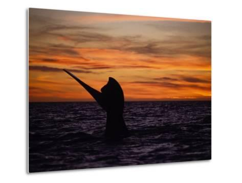 Southern Right Whale, Female at Sunset, Valdes Penin-Gerard Soury-Metal Print
